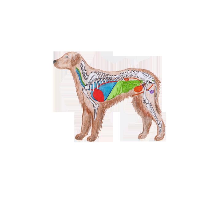 Anatómia psa