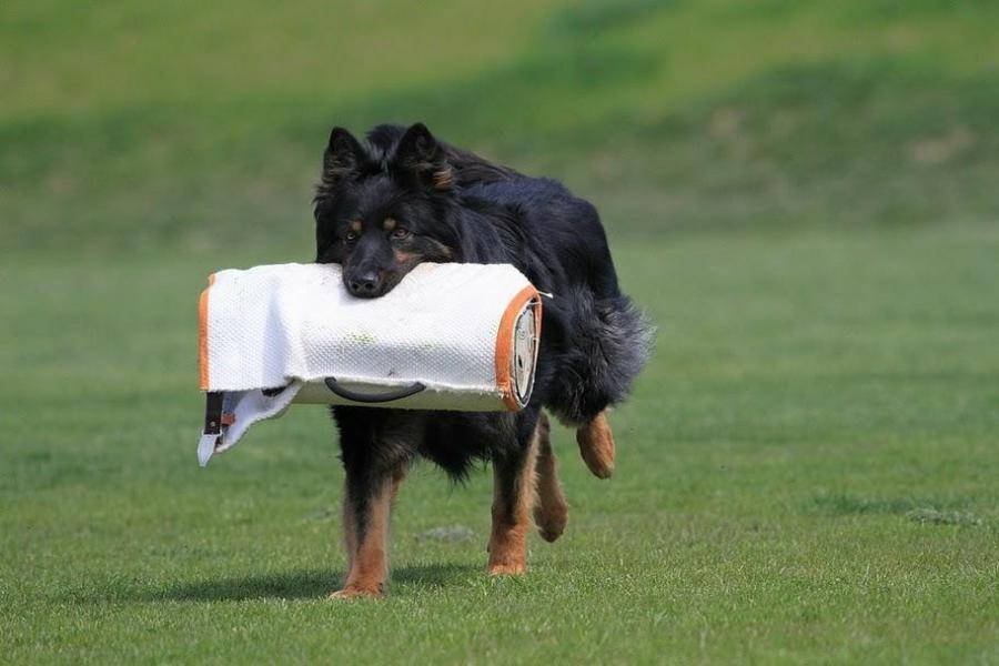 Ch. ČR Foster Krosandra - chodský pes