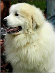 Chovateľská stanica používateľa Petra Karmazinová Pyrenejsky horsky pes
