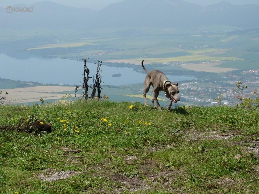Úpal a prehriatie psa