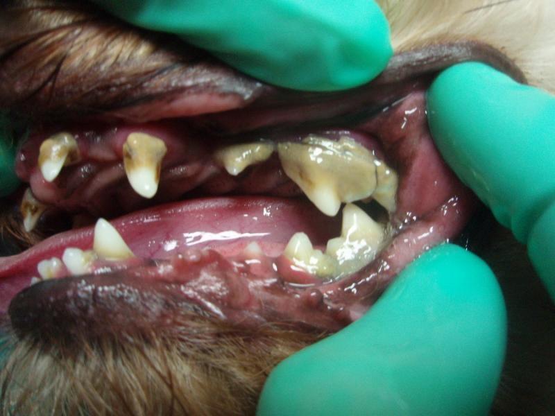 Zubný kameň u psov