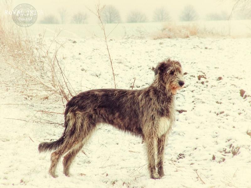 Profil psíka patrí používateľovi Royal Irish