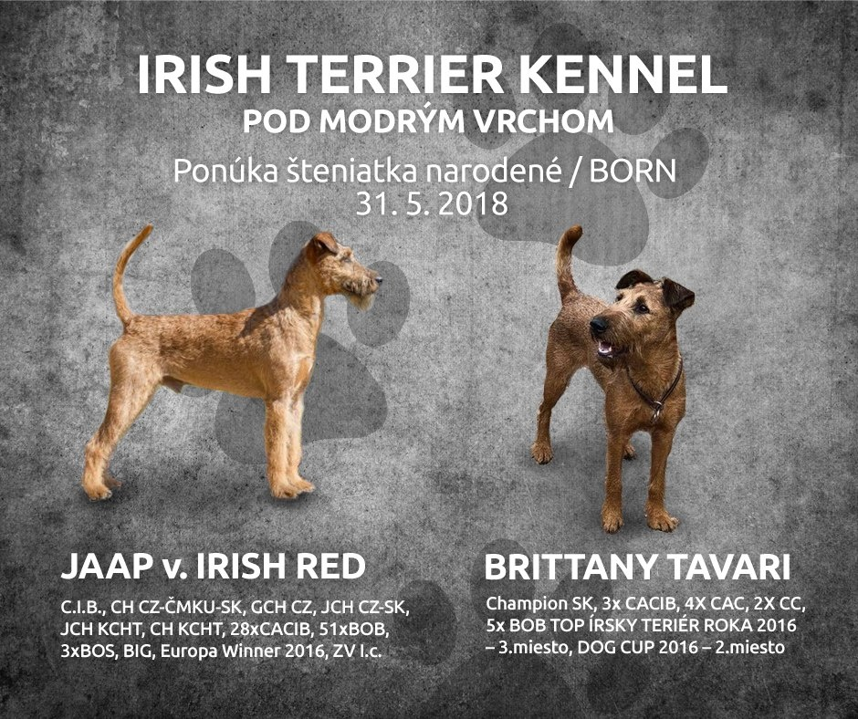 Vrh A - Irish Terrier Kennel Pod modrým vrchom