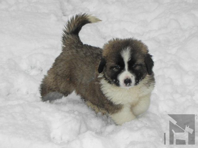 Vrh v chovateľskej stanici Obrie srdce Moskovský strážny pes