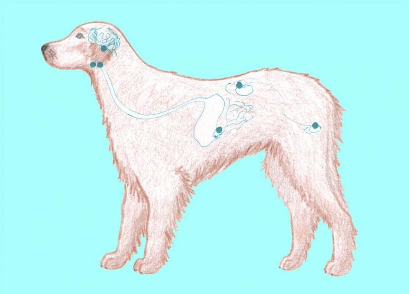 Endokrinná sústava psa