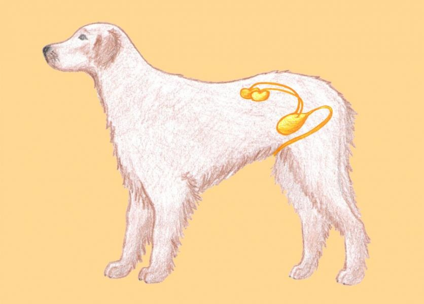 Močová sústava psa