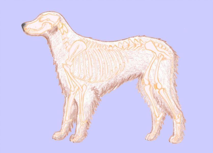 Oporná a pohybová sústava psa