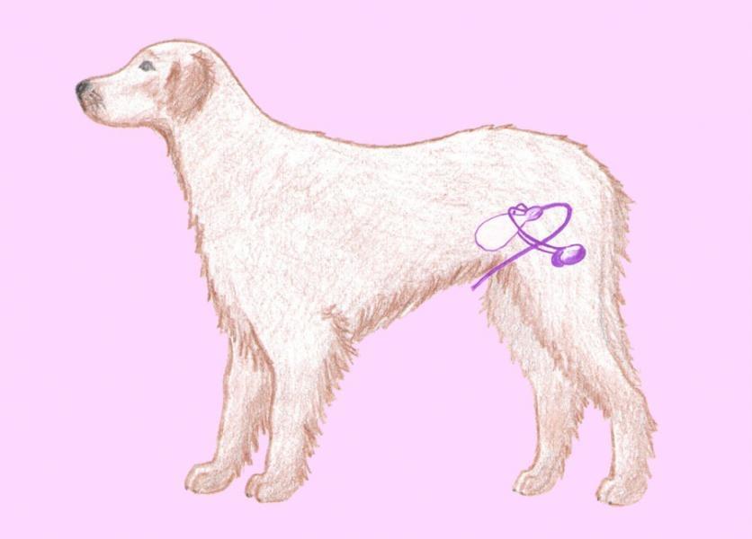 Pohlavná sústava - pes