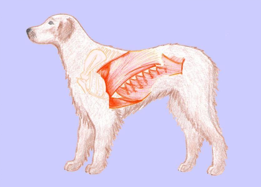 Hrudník a brucho psa