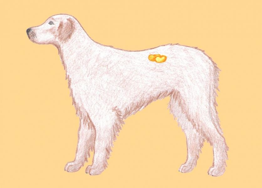 Obličky psa