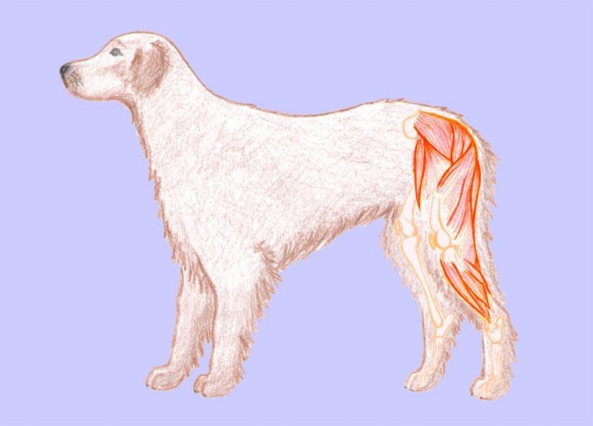 Panvové končatiny psa