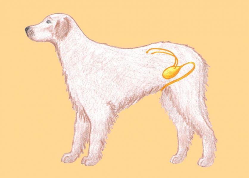 Vývodné močové cesty psa