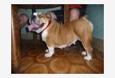 Iron boldog Bulldog Saky-VET