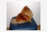 Curly Sue of Maja´s Pomeranianworld