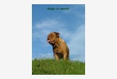 AGRAMER BORDOG MAGIS,Dogue de Bordeaux