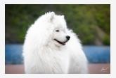 Samojed Polar Beauty