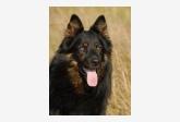 Chovateľská stanica - chodský pes