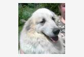 Chovateľská stanica - Pyrenejský horský pes