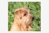 Chovateľská stanica používateľa Red Heaven Norfolk Terrier kennel