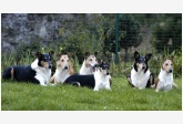 Mighty´s Spring Meadow - Collie Smooth