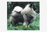 Šumbarský pramen - Německý špic vlčí, Keeshond a Pudl velký