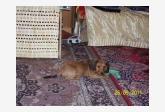 Darujem psíka 2,5 mes Jazvečíka trpasličieho dlhosrsteho