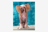 Profil psíka patrí používateľovi chinesecresteds