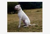 Profil psíka patrí používateľovi Niky - dogo argentino