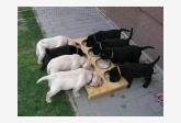 labrador retriever šteniatka