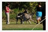 Šantiace vlkodavy