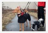 Faraónsky pes a Čínsky chocholatý pes