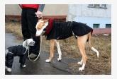 Čínsky chocholatý pes a Ibizský podenko hladkosrstý