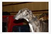 Anglický chrt Greyhound