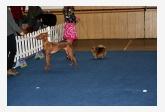 Faraónsky pes & Nemecký špic trpasličí