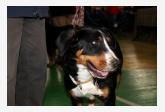 Veľký švajčiarsky salašný pes