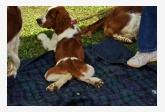 Welsh špringeršpaniel - šteniatko