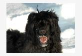 Portugalský vodný pes Amarela Tinta Mokrý Bandita