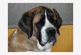 Svätobernardský pes krátkosrstý Charlotta od Natálky