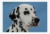 Dalmatínsky pes Hollywood´s Dream Raul