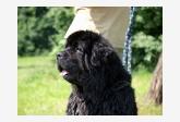 Novofundlandský pes Nero od Celpaku
