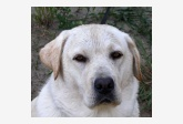 Labradorský retríver Sally Kaiserov dvor