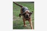 Svätohubertský pes (Bloodhound) Unica Famous Alhavant