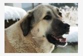 anatólsky pastiersky pes - Cari Galeta Browny San-Mar