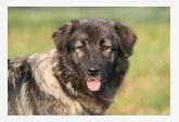 Krašský pastiersky pes - Atena Bučnovaška
