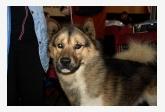 Grónsky pes