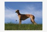 Anglický chrt (Greyhound) TATANKA VITKA Damask Silk