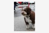 Španielsky vodný pes