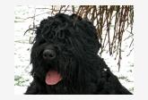 Čierny teriér - Mifodi Znatny Siberian-2,5roka