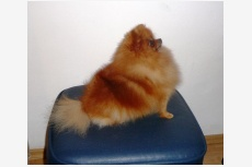 Curly Sue of Maja´s Pomeranianworld