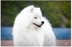 Samojed Polar Beauty